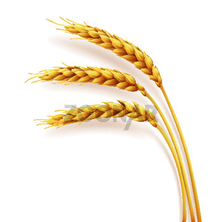Realistic ears of wheat isolated, agriculture, natural product