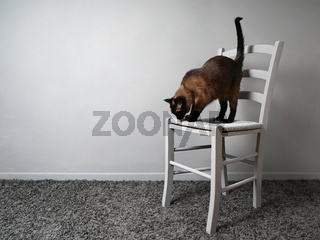 cat with fear of heights standing on chair