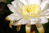 A bee, completely covered with yellow pollen, sitting on the flower of a cactus, Argentina