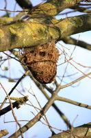 Nest von Eichenprozessionsspinner an einer Eiche