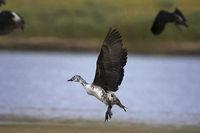 Knob-billed duck, Sarkidiornis melanotos, Chambal river, Rajasthan, India