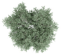 olive tree isolated on white background. top view