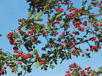 fresh hawthorn berries on a branch against a blue sunny september sky