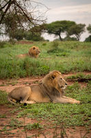 Two male lions lying in grassy meadow