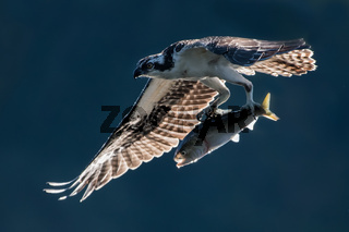 Osprey in Flight With Catch VII