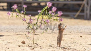 Prairie Dog Stands Tall Hind Legs Reaching for Wildflower