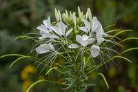 Weisse Spinnenblume