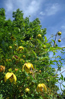 Clematis Golden Harvest