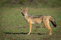 Black-baked jackal stands on grass opening mouth