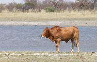 Cattle, farm - Cow