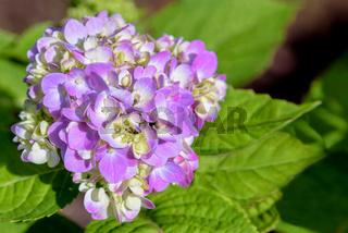 Hydrangea macrophylla flower
