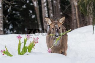 Reh steht im Garten und frisst Tulpen