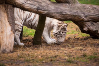 A beautiful white tiger out in the nature