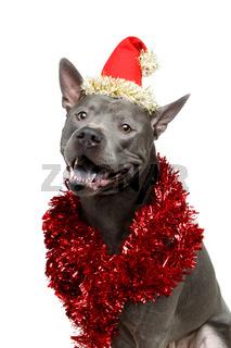 beautiful thai ridgeback dog in christmas hat