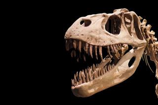 Tyrannosaurus Rex skeleton on black isolated background