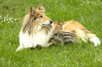 Collie with wild Boar