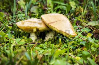 Mushrooms Garmisch-Partenkirchen in autumn