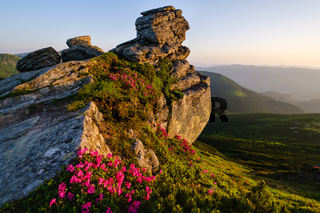 Rhododendron flowers on morning summer mountain slope