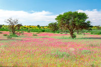Blooming Kalahari desert South Africa wilderness