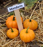 Mandarin, Zierkuerbis, Kuerbis