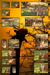 Caracal collage in Giraffe background
