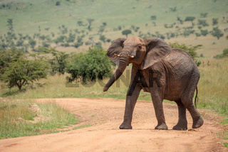 African elephant stands on track lifting head