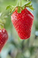 Ripe strawberry on a stalk with a drop of water on a background of greenery. Organic berry.