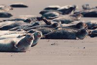 Harbor seal, Helgoland Germany