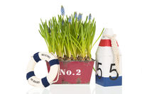 Muscari botryoides in red pot