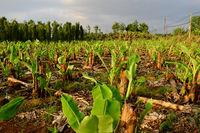 sapling in large banana field