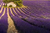 Steinhütte und Lavendelfeld mit Sonne und Schatten bei Sault