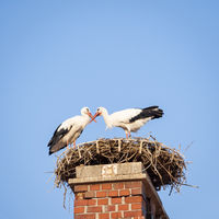 Two white storks in a nest