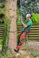 Dutch tree expert climbs with rope in fir tree