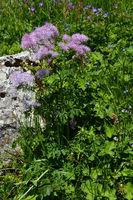 Akeleiblättrige Wiesenraute; Thalictrum aquilegiifolium, im Bregenzerwald bei Mellau auf der Kanisfluh