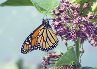 Monarch butterfly  on pink swamp milkweed flowers