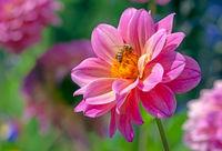 Bee at a dahlia flower blossom