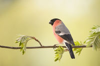 male bullfinch is standing on rowan branches