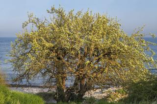 Baum am Naturstrand von Theissow