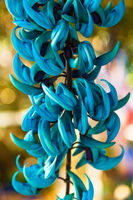 Strongylodon macrobotrys flower