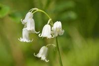Weisses Hasenglöckchen ( Hyacinthoides non-scripta )