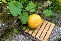 ein gelber Bio Kürbis im Beet im Garten