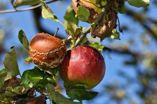 Apfel, Faeule, Faeulnis, malus domestica