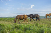 Freedom, Horses in a meadow grazing at sunset in a rural field of Spain
