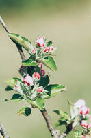 detail of a blooming apple branch