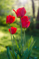 Red tulips in the garden, backlight