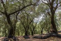 Olivenbäume auf Korfu