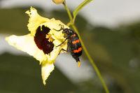 Blister beetle, Meloidae, Aarey milk colony Mumbai , India