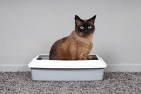 house-trained cat sitting in cat toilet or litter box