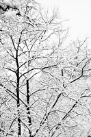 Winter trees after snowfall