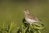 ein Vogel der offenen Feldflur... Feldlerche * Alauda arvensis *